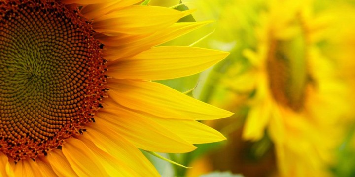 sunflowers feature