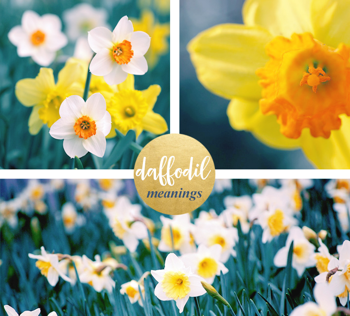 flower-meanings-daffodils1