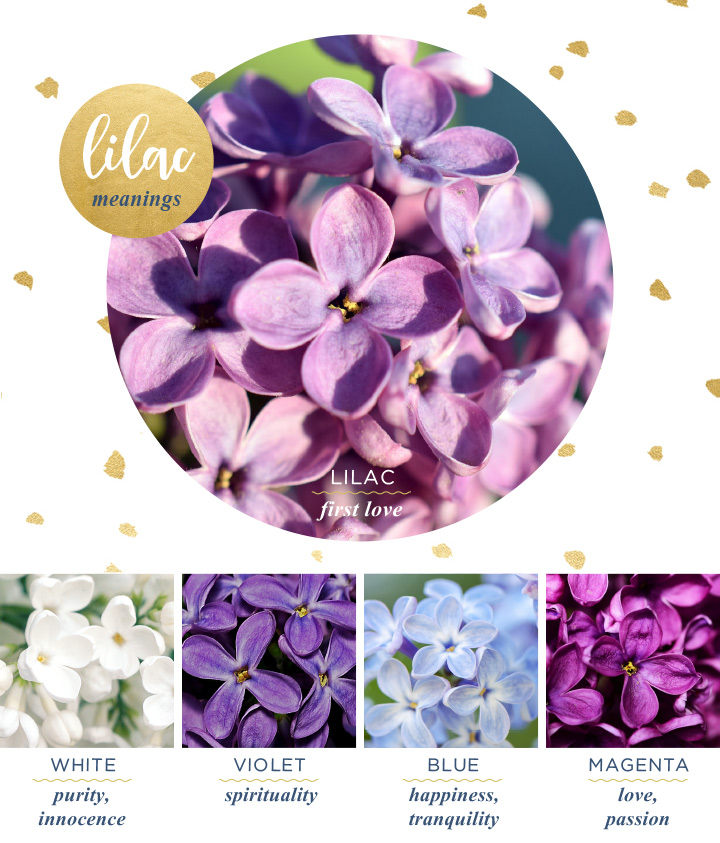 flower-meanings-lilac2