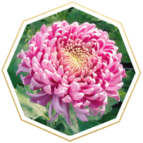 chrysanthemum meaning and symbolism
