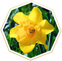 daffodil meaning and symbolism