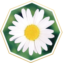 daisy meaning and symbolism