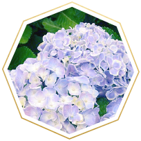 hydrangea meaning and symbolism