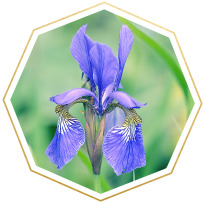 iris meaning and symbolism