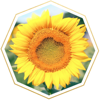 sunflower meaning and symbolism