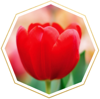 tulip meaning and symbolism