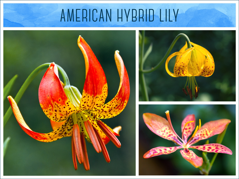 types of lilies American lily