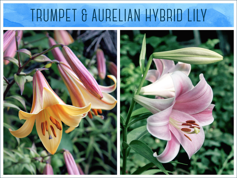 Types of Lilies Trumpet lily and Aurelian lily