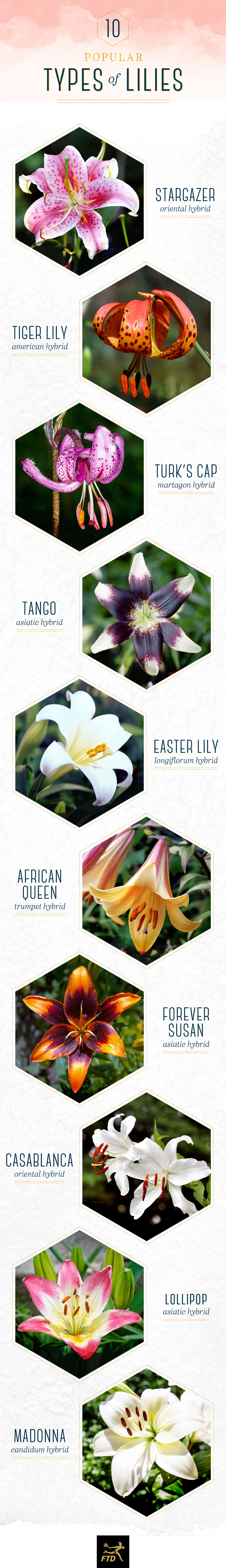 types of lilies infographic