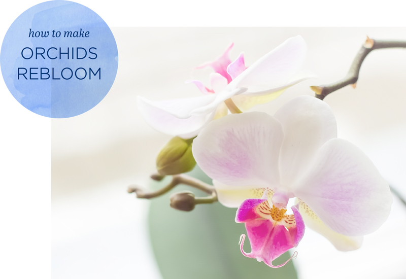 how to make an orchid rebloom
