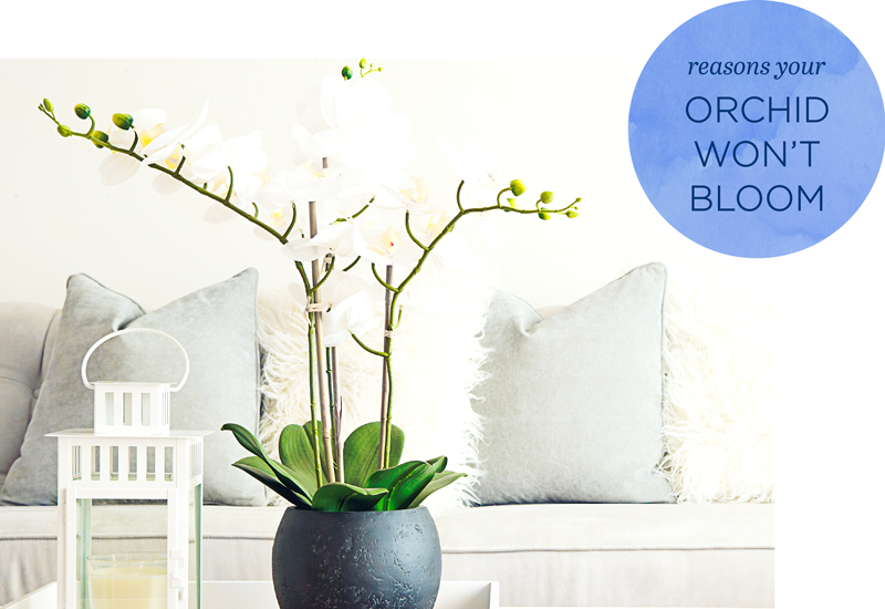 how to rebloom an orchid
