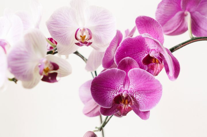 how to rebloom orchids