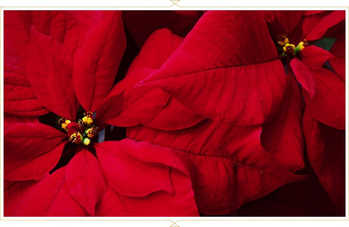 poinsettia-care-guide