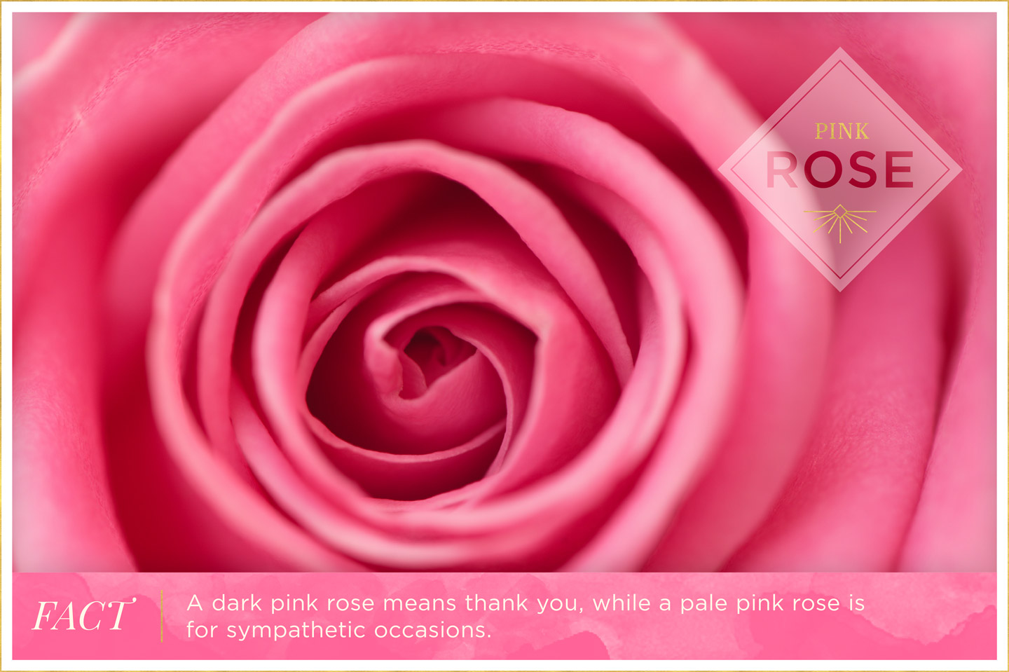 pink-rose-meaning