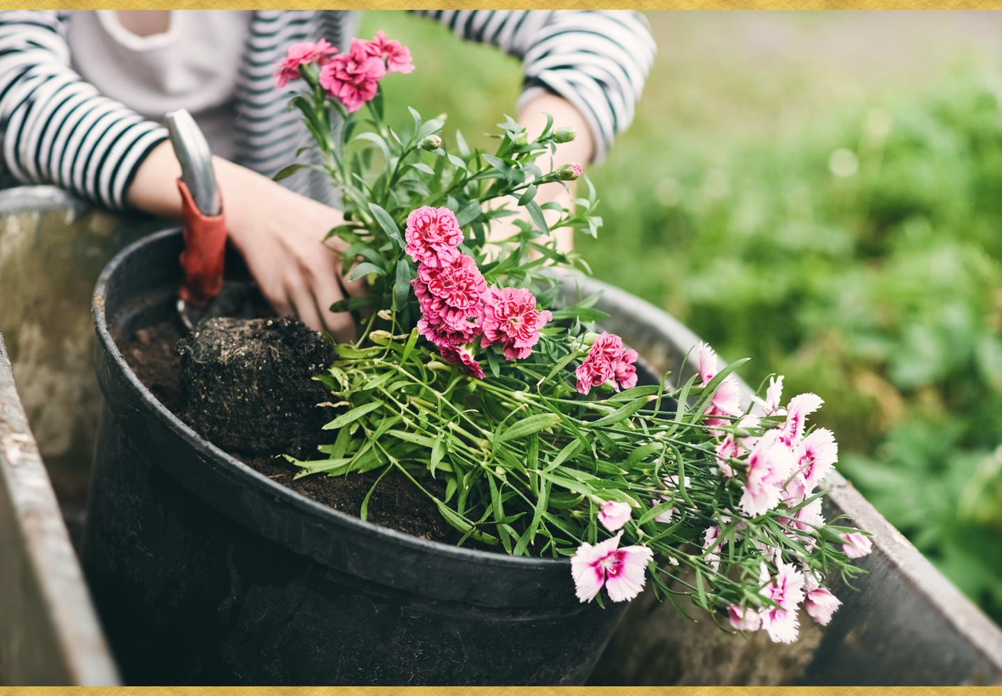 Growing Carnations - How to Plant