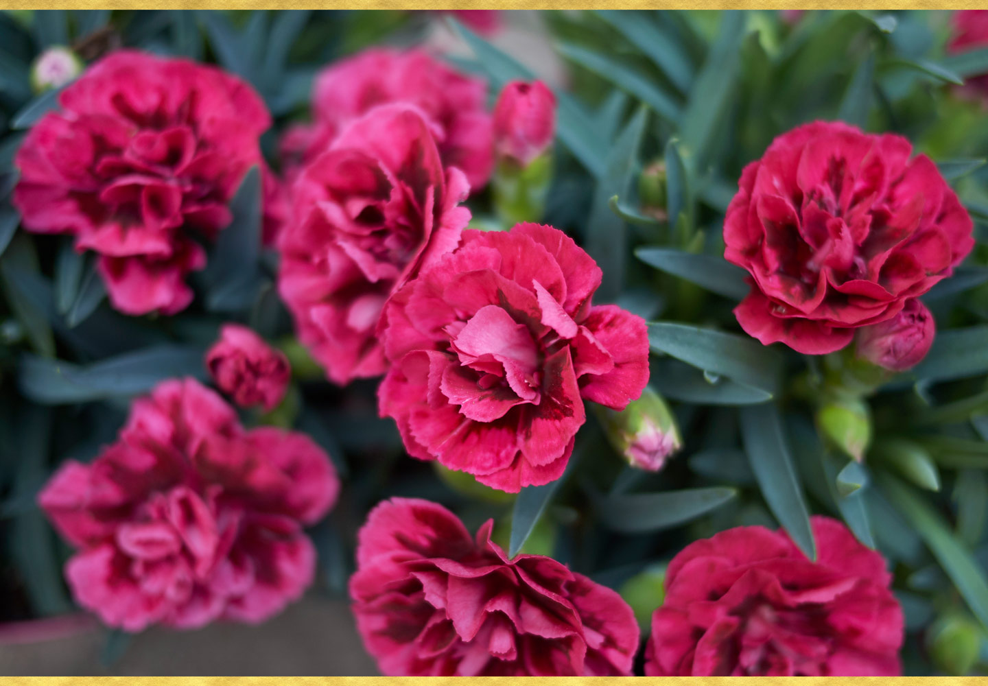 Growing Carnations - Care Tips