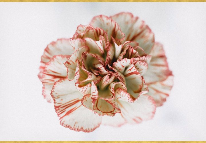 A Guide to Growing Carnations