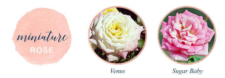 Types of Roses Miniature Rose
