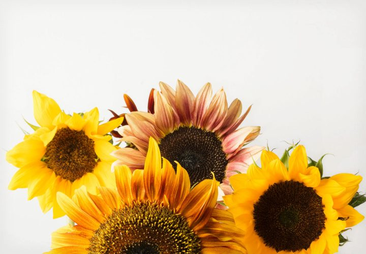The Ultimate Sunflower Care Guide
