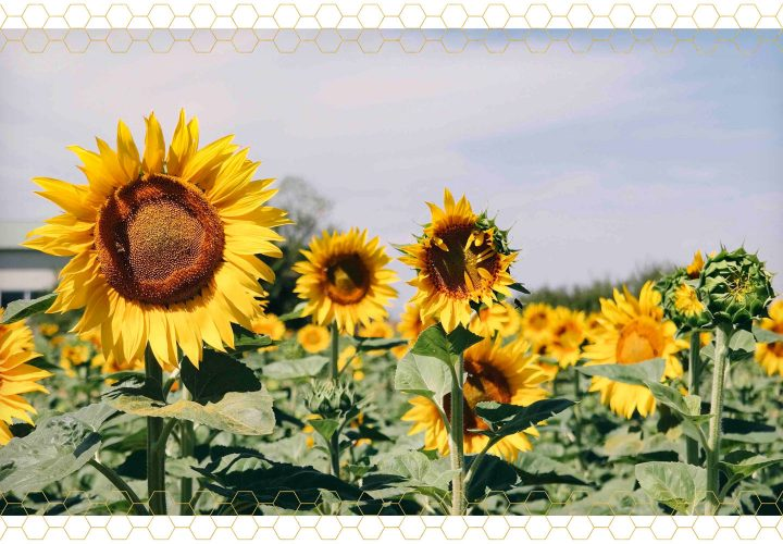 Sunflower Care Guide planting