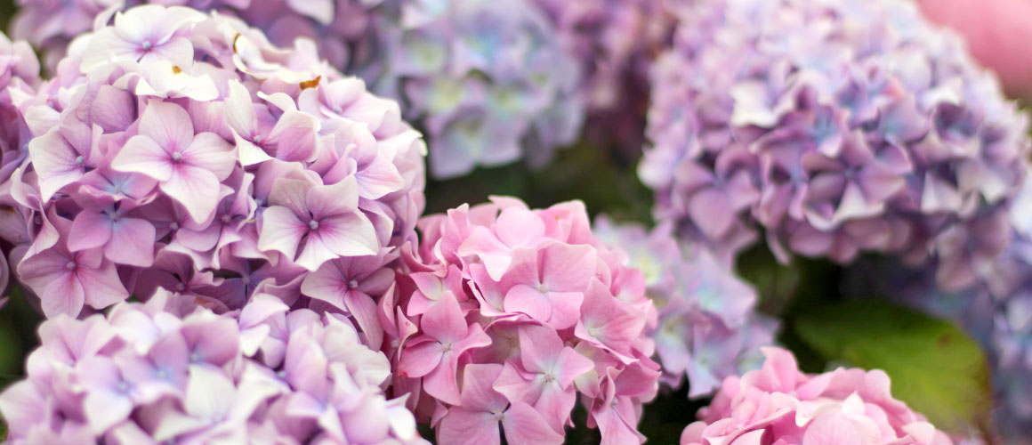How to Care for Hydrangeas: A Complete Guide | FTD