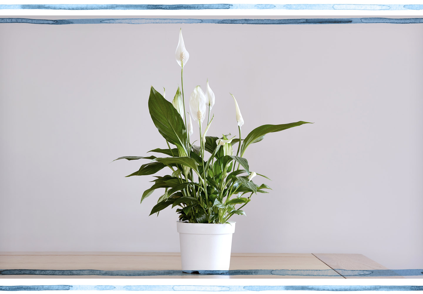 Peace Lily Care Environment
