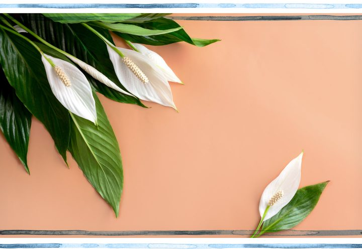 Peace Lily Care Tips and Tricks