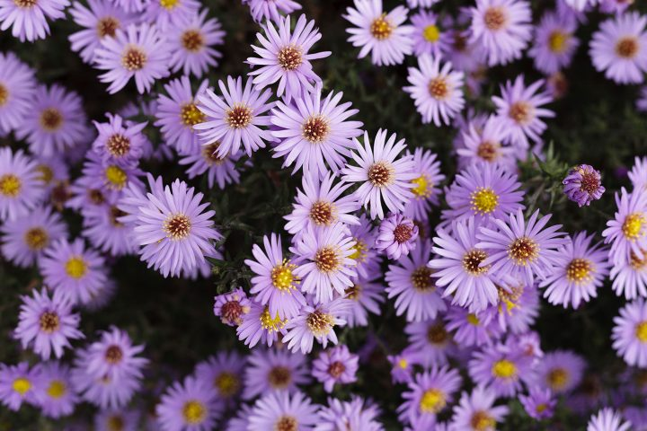bunch of purple aster flowers.