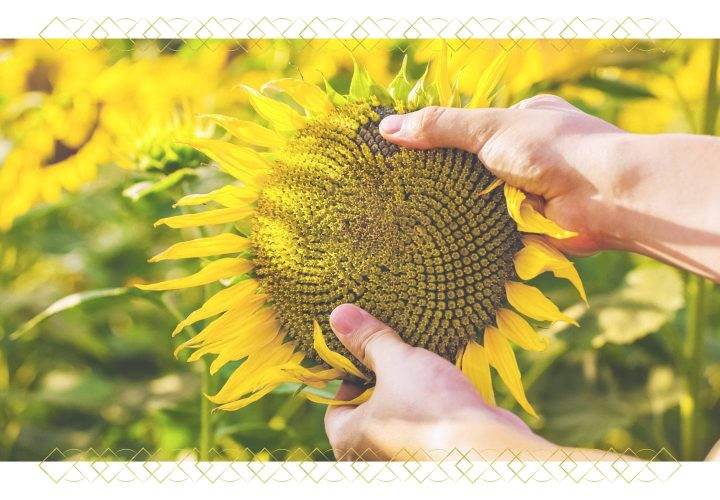 man grabbing large sunflower with both hands.