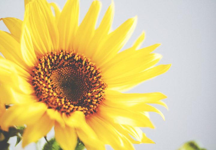 large yellow sunflower with white background.