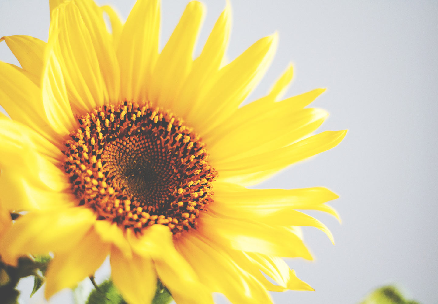 The Life Cycle of a Sunflower | When Do Sunflowers Bloom? - FTD.com