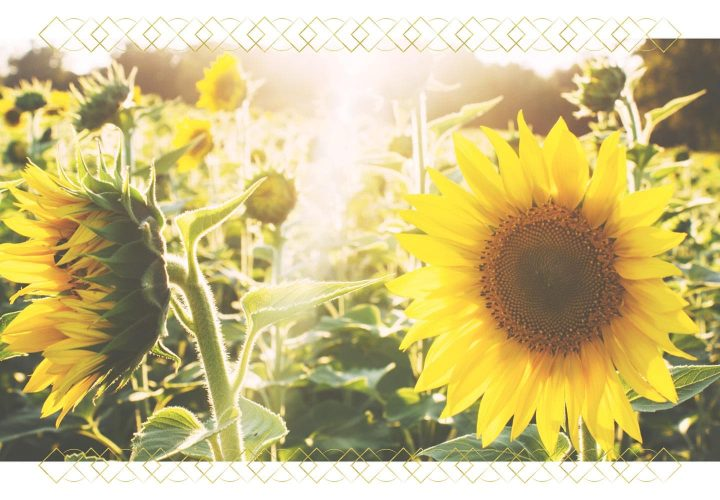 field of sunflowers with ray of sun.