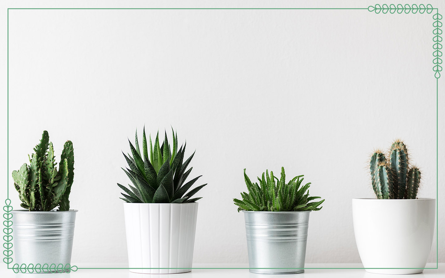 Four haworthia succulents lined up on a table against a white background