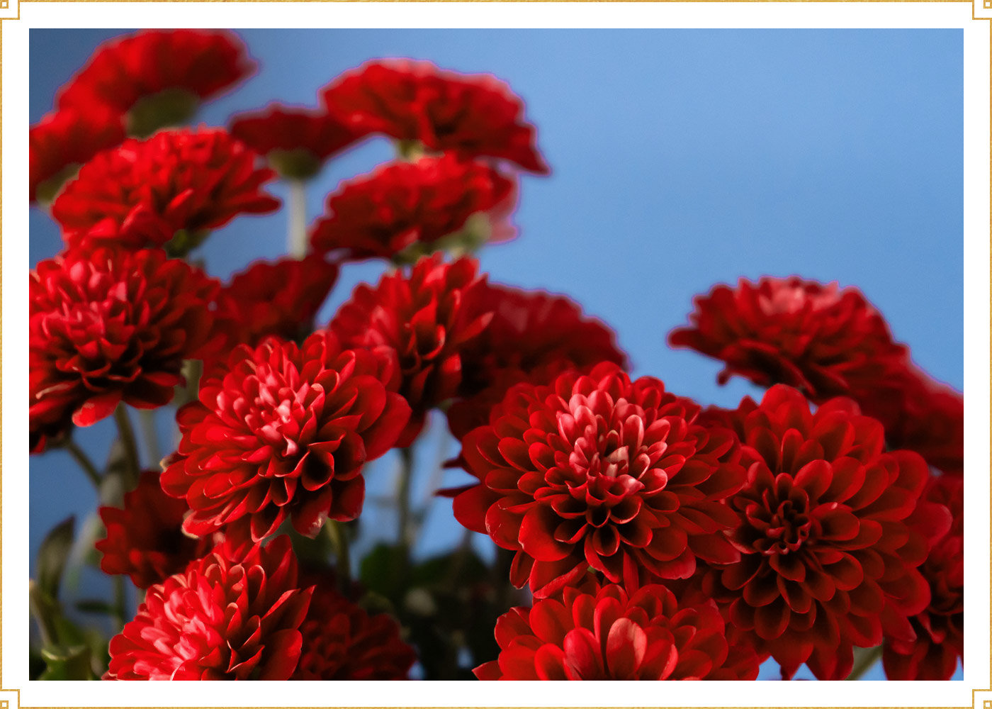 red chrysenthemums