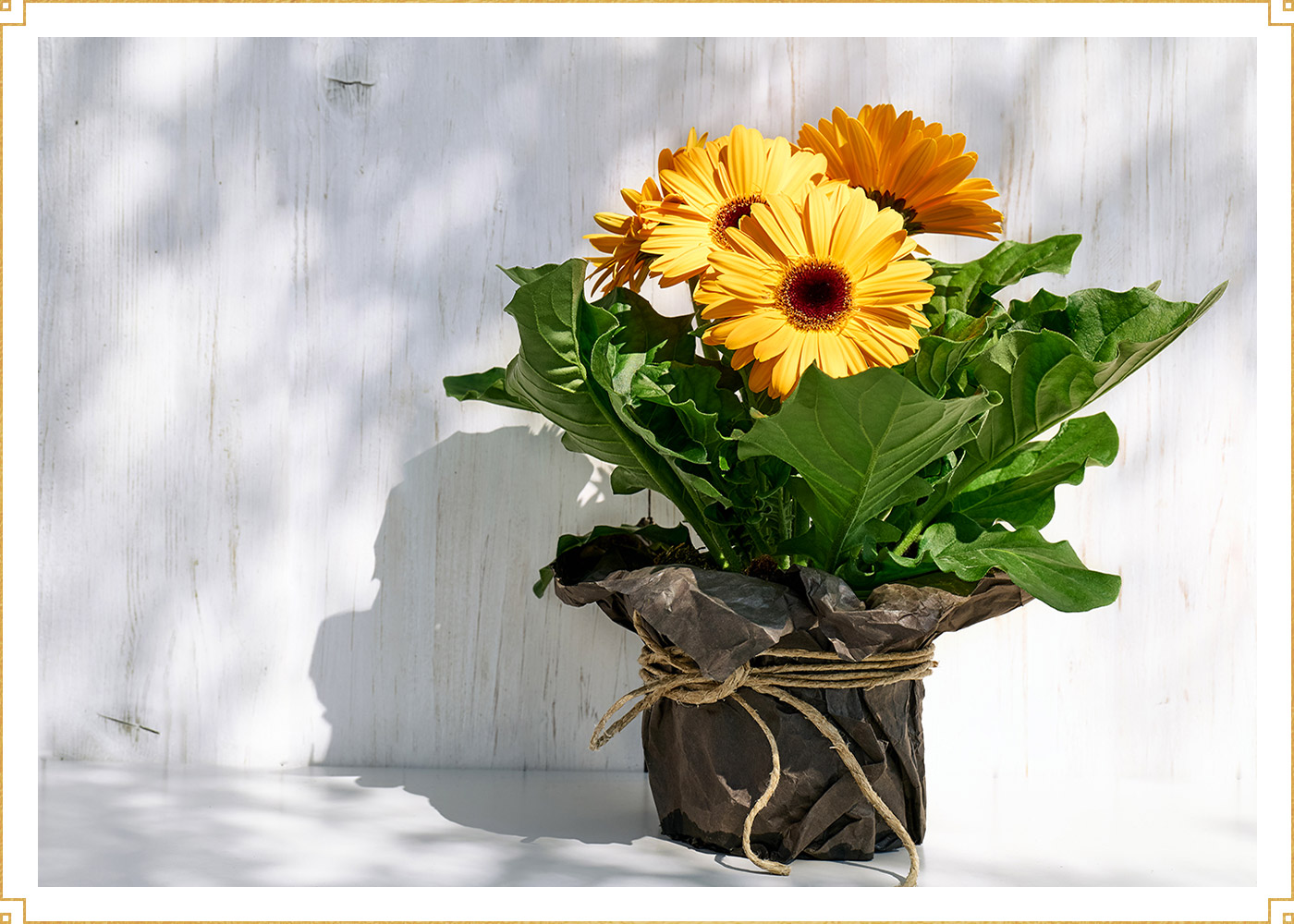 yellow gerbera flowers