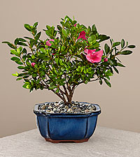Happy Mother's Day Azalea Bonsai - 8'
