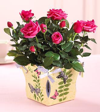 Цветок домашний похожий на клен букет