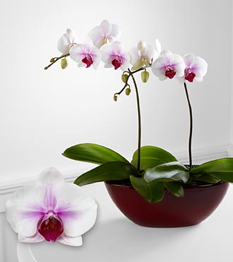 Smithsonian Love's Light Phalaenopsis Orchid